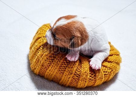Sweet Sleeping Jack Russell Puppy On Bed