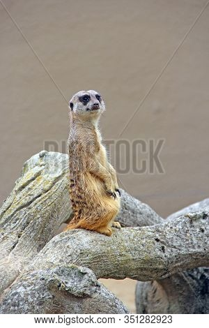 Meerkat Is Standing. Wary Rodent Stands On Hind Legs. Meerkat Looking Standing On Hind Legs. Portrai