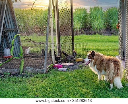 A Border Collie Dog Stalking Polish Bantam Chickens As They Run Into Their Yard For Protection And T