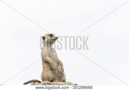 Meerkat, Suricate, Suricata Suricatta, Standing Sentry; Specimen In Captivity