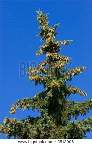 Fir On Blue Sky