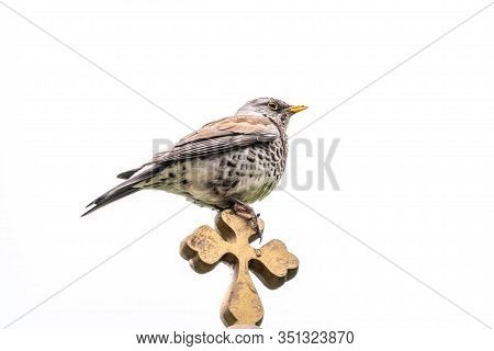 Fieldfare, Turdus Pilaris, Sitting On A Wooden Cross Isolated On White Background. The Fieldfare Is