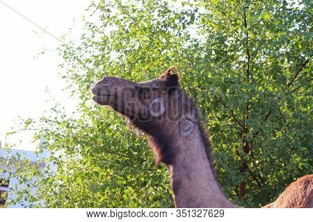 Camel Portrait In The Nature With Blur Leaves And Sun Light Effect Background At Village In Rajsthan
