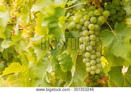 Closeup Of Ripe White Riesling Grapes On Vine In Vineyard With Blurred Background And Copy Space