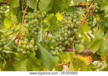 Bunches Of Ripe Chardonnay Grapes On Vine In Vineyard At Harvest Time