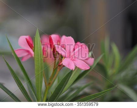 Sweet Oleander, Rose Bay, Nerium Oleander Name Pink Flower Tree In Garden On Blurred Of Nature Backg