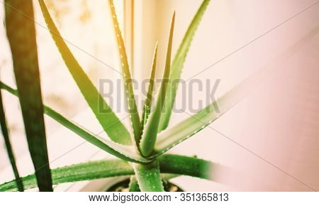Aloe Vera, Fresh Leaves Of Aloe Vera On A Window Sill In A Pot Natural Background Sunlight Bokeh Nat