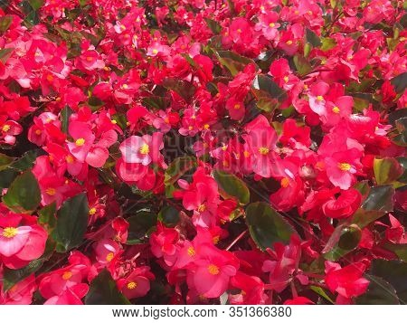Beautiful Red Begonia Bush Under Sun Light