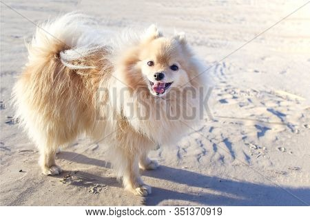 Happy Cheerful Positive Pomeranian Spitz Little Small Dog, Little Playful Cute Puppy Outdoors On San