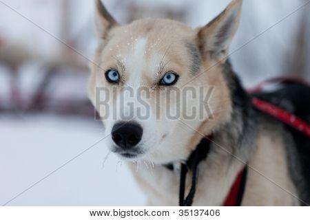 Husky-Hundeschlitten