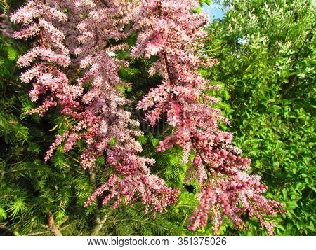 Tamarisk Pink Flowering Shrub Branches, Tamarix Parviflora, Detail Of Branch With Small Flowers