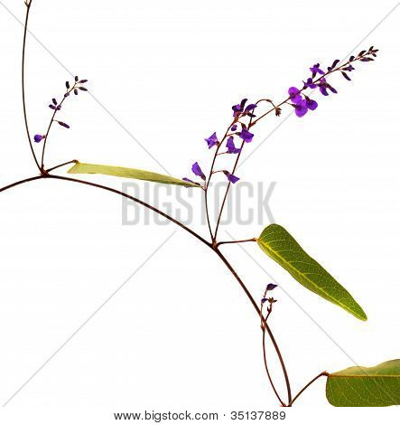 Sarsaparilla Vine Flower