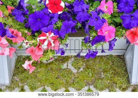 Petunia Colorful Flowers In White Wooden Crate On Eco Pavement In Summer City Garden. Colourful Petu