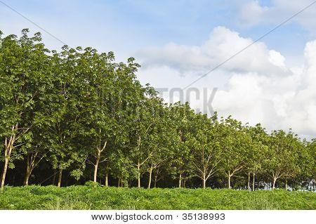 Bosque de árboles de caucho