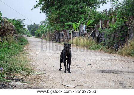 Vagrant Dog On The Street In Thailand