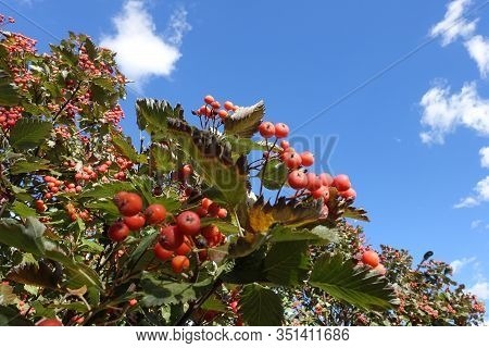 Red Berries In The Leafage Of Sorbus Aria Against Blue Sky In October