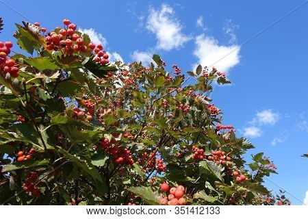 Ripening Berries In The Leafage Of Sorbus Aria Against Blue Sky In October