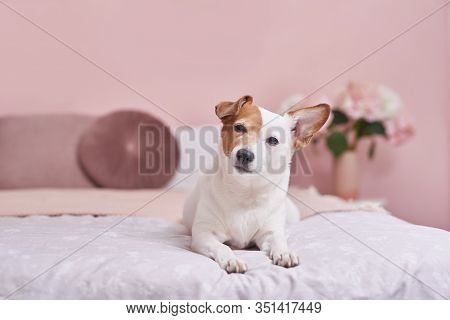 Jack Russell Terrier Dog On Bed In Interior Of Pink. Hotel Concept For Animals. Vetclinic. Animal Ca