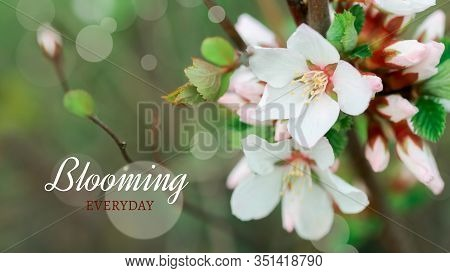 Text Blooming Everyday Flower Of Nanking Cherry. White Flowers Prunus Tomentosa On A Bush Korean Che