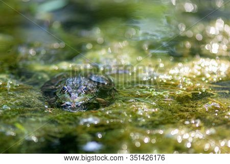 Macro Photo Nature Amphibian Lake Frog Sitting On The Water, In The Focus Of The Eye.