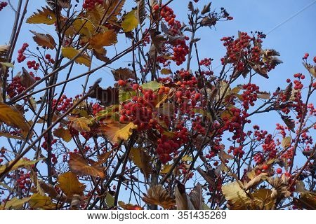 Ripe Berries On Branches Of Sorbus Aria Against Blue Sky