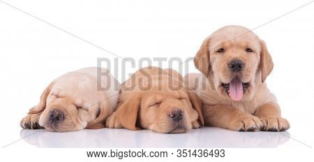 cute couple of labrador retriever dogs with yellow fur lying down while sleeping and panting happy on white studio background