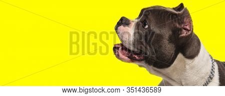 happy american bully dog looks to side and panting with mouth open in awe on yellow background