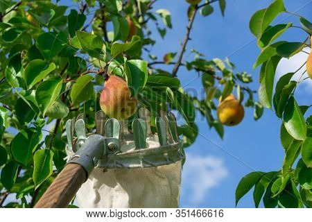 Pear Harvesting With Fruit Picking Device From High Tree. Concept Of Harvest And Fruit Collection Wi