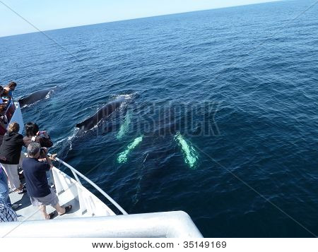 Humpback whales watching from the Dolphin fleet boat, MA poster