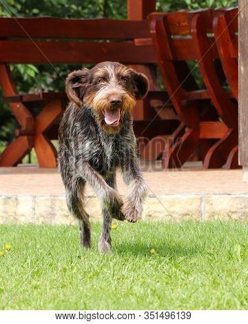 Crazed Rough-coated Bohemian Pointer Runs Around The Garden. Barbu Tcheque In Jump. Female Dog Flyin