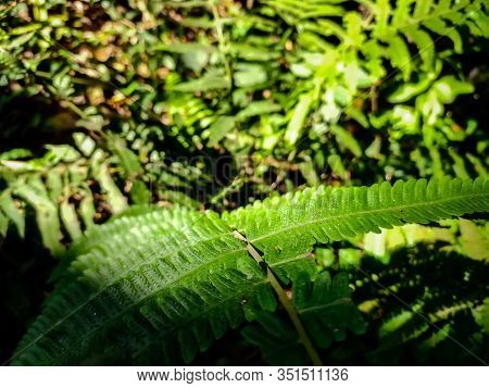Dryopteris Filix-mas, The Male Fern, Is A Common Fern Of The Temperate Northern Hemisphere, Native T