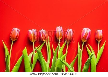 Spring flower tulip. Red tulips on red background.