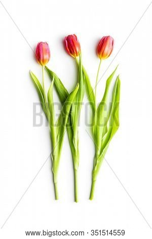 Spring flower tulip. Red tulips isolated on white background.