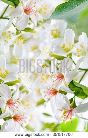 Beautiful Tung Flower Background Pattern,  White Tung Flower Blooms In Spring