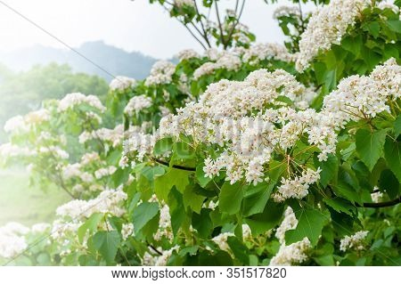 Beautiful White Tung Flower Blooms In Spring(tung Tree Flower)