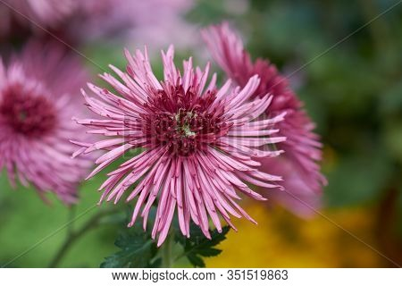 Chrysanthemum Grandiflorum. Decorative Composition Of Pink Chrysanthemum Flowers, Autumn Bouquet. Pi