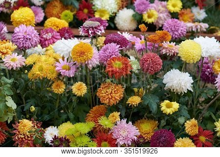 Decorative Composition Of Fresh Chrysanthemum Flowers, Autumn Bouquet. Ornamental Design With Colorf