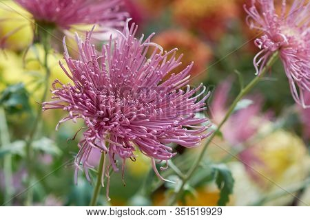 Chrysanthemum Grandiflorum. Decorative Composition Of Pink Chrysanthemum Flowers, Autumn Bouquet. Li