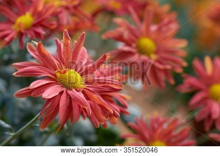 Chrysanthemum Grandiflorum. Decorative Composition Of Red Chrysanthemum Flowers, Autumn Bouquet. Ora