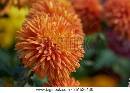 Chrysanthemum Grandiflorum. Orange Chrysanthemum In Autumn Botanical Garden. Decorative Composition