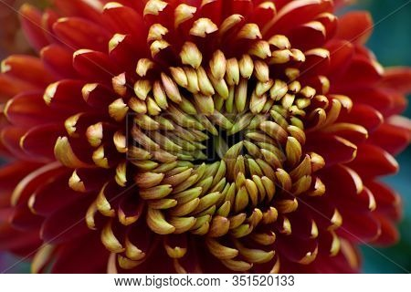 Chrysanthemum Grandiflorum. Decorative Composition Of Red-yellow Chrysanthemum Flowers, Autumn Bouqu