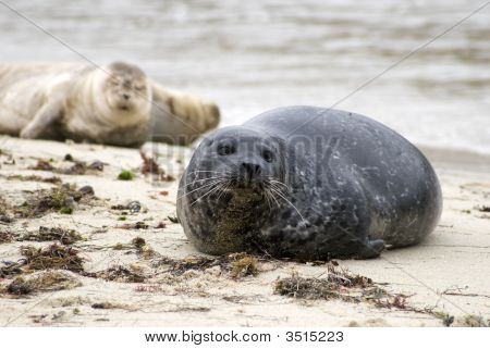 Seals resting on the rocky coastline of California. poster