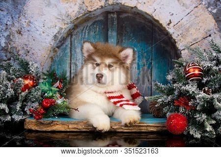 Alaskan Malamute puppy christmas dog
