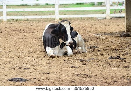 Dairy Black And White Cow Is Laying Down In The Farm