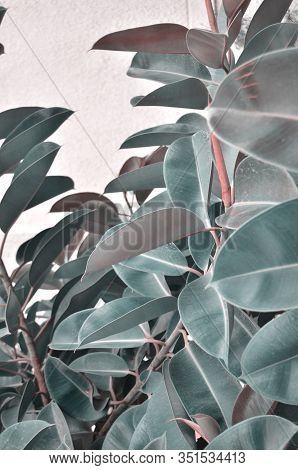 Large Leaves Of Ficus. Background Of Leaves Of Ficus. - Image