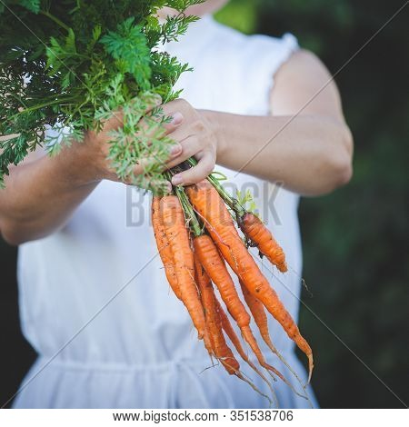 The Girl Holds On Her Outstretched Arm A Bunch Of Freshly Picked Carrots. Organic Carrot In The Hand