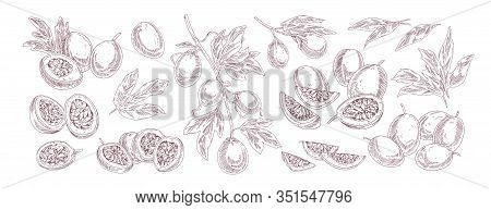 Collection Of Various Passion Fruit Vector Illustration In Realistic Hand Drawn Style. Set Of Monoch