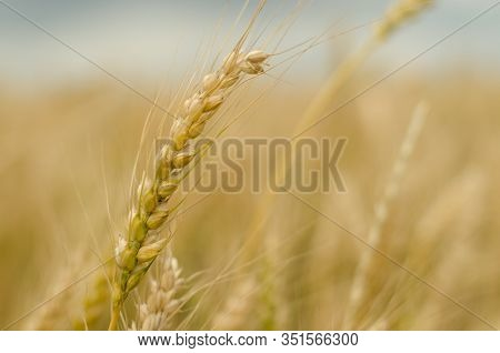 Close-up Spikelet Of A Rye On The Field On A Sunny Day. Rustic Seasonal Background