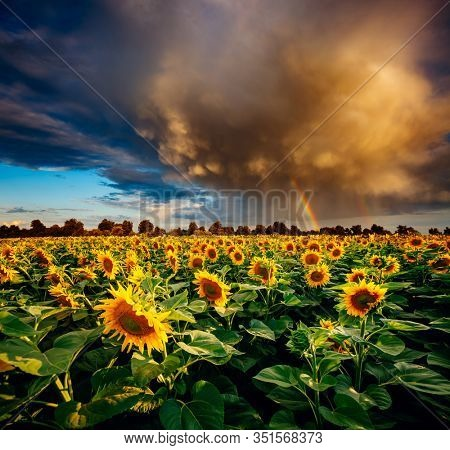Dramatic scene of ominous stormy clouds over field with yellow sunflowers. Exotic wallpaper of moody weather. Photo of creativity concept. Location place of Ukraine, Europe. Beauty of earth.