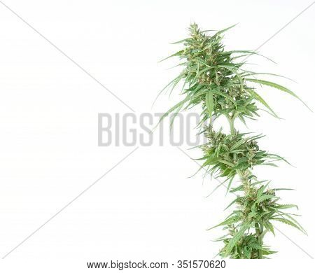 Fresh Marijuana Flower Isolated